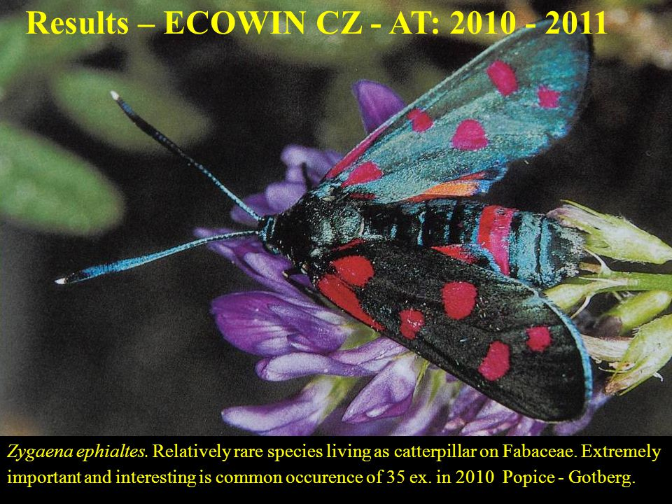 81 Zygaena ephialtes. Relatively rare species living as catterpillar on Fabaceae. Extremely important and interesting is common occurence of 35 ex. in