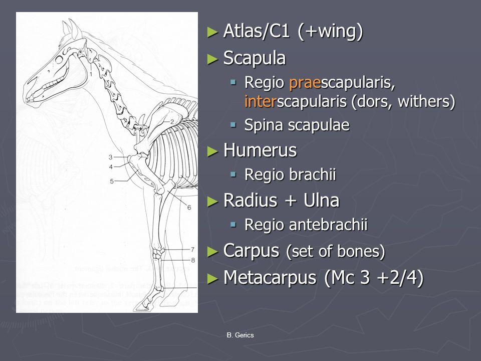 ► Atlas/C1 (+wing) ► Scapula  Regio praescapularis, interscapularis (dors, withers)  Spina scapulae ► Humerus  Regio brachii ► Radius + Ulna  Regi
