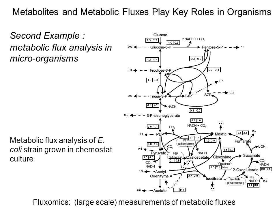 Metabolites and Metabolic Fluxes Play Key Roles in Organisms Second Example : metabolic flux analysis in micro-organisms Fluxomics: (large scale) measurements of metabolic fluxes Metabolic flux analysis of E.
