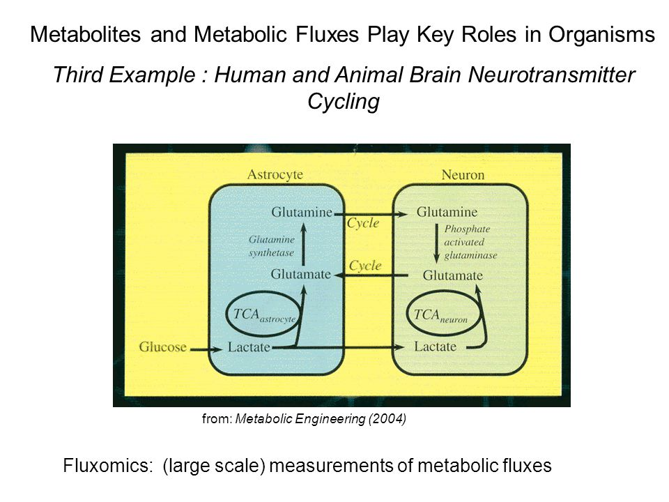 Metabolites and Metabolic Fluxes Play Key Roles in Organisms Third Example : Human and Animal Brain Neurotransmitter Cycling Fluxomics: (large scale) measurements of metabolic fluxes from: Metabolic Engineering (2004)