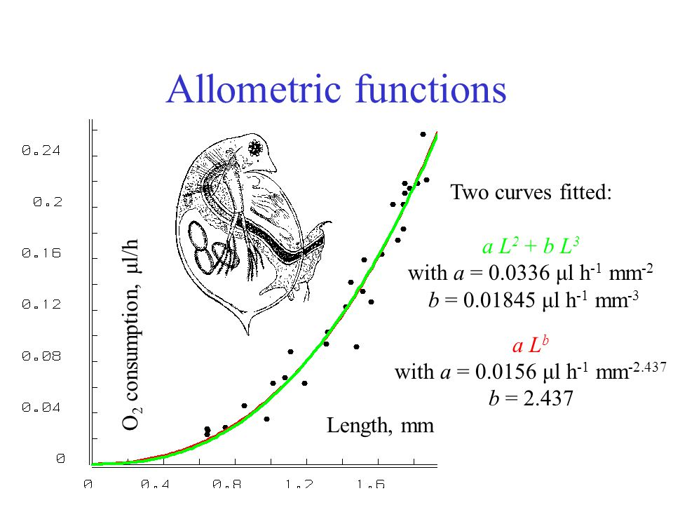 Allometric functions Length, mm O 2 consumption, μl/h Two curves fitted: a L 2 + b L 3 with a = 0.0336 μl h -1 mm -2 b = 0.01845 μl h -1 mm -3 a L b with a = 0.0156 μl h -1 mm -2.437 b = 2.437