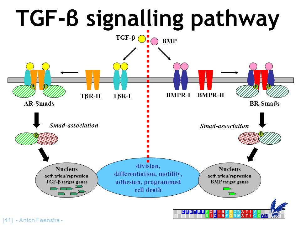 CENTRFORINTEGRATIVE BIOINFORMATICSVU E [41] - Anton Feenstra - TGF-β signalling pathway T  R-IIT  R-I TGF-  AR-Smads division, differentiation, mot
