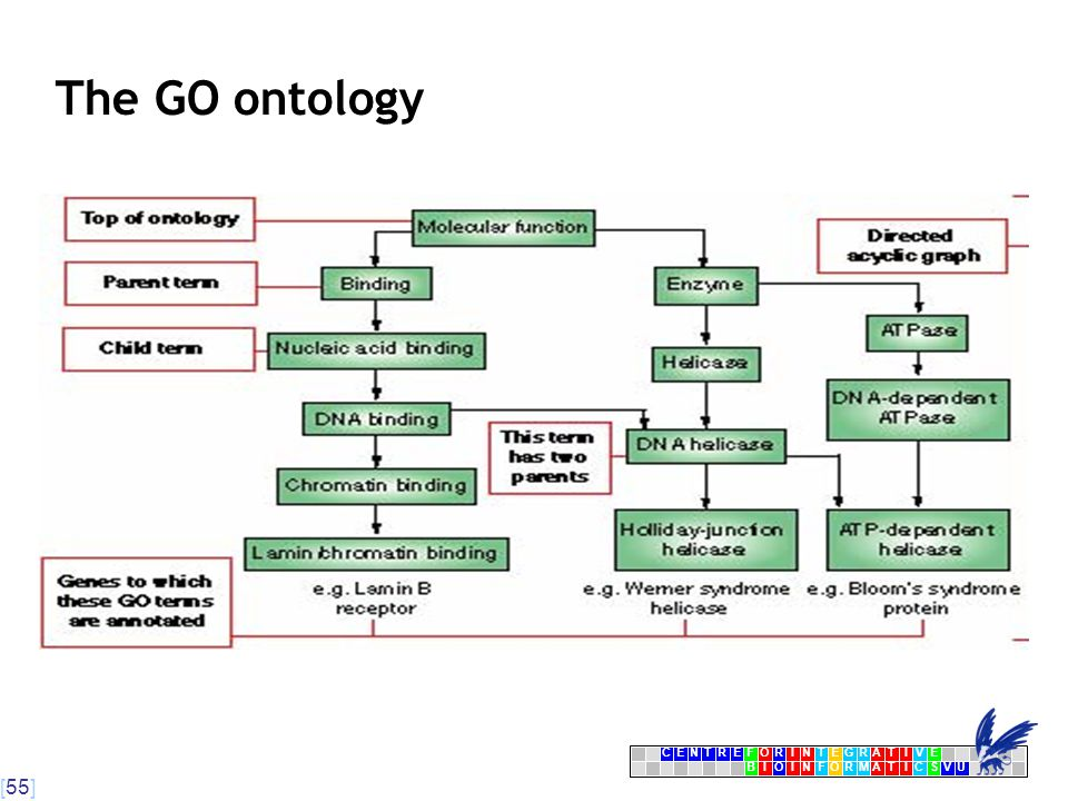 [55] CENTRFORINTEGRATIVE BIOINFORMATICSVU E The GO ontology
