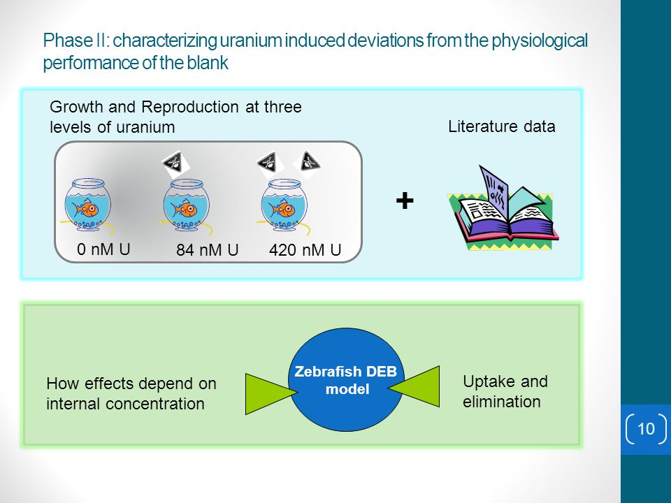 Phase II: characterizing uranium induced deviations from the physiological performance of the blank + Literature data Zebrafish DEB model 0 nM U 84 nM U420 nM U Growth and Reproduction at three levels of uranium Uptake and elimination How effects depend on internal concentration 10