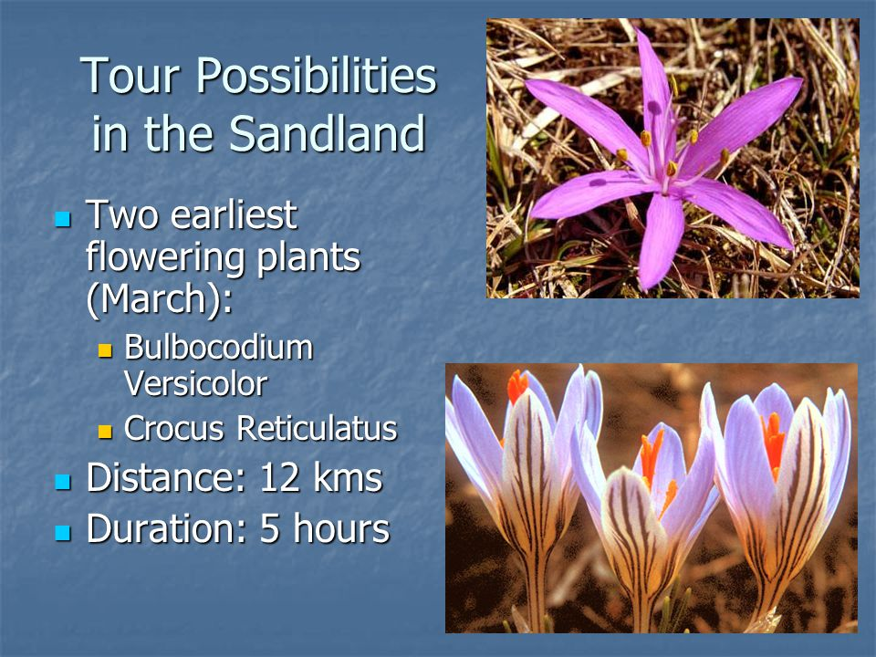 Tour Possibilities in the Sandland Two earliest flowering plants (March): Two earliest flowering plants (March): Bulbocodium Versicolor Bulbocodium Versicolor Crocus Reticulatus Crocus Reticulatus Distance: 12 kms Distance: 12 kms Duration: 5 hours Duration: 5 hours