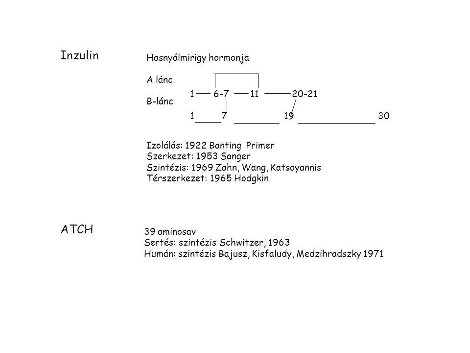 Inzulin 16-7 11 20-21 1 71930 Hasnyálmirigy hormonja A lánc B-lánc Izolálás: 1922 Banting Primer Szerkezet: 1953 Sanger Szintézis: 1969 Zahn, Wang, Katsoyannis Térszerkezet: 1965 Hodgkin ATCH 39 aminosav Sertés: szintézis Schwitzer, 1963 Humán: szintézis Bajusz, Kisfaludy, Medzihradszky 1971
