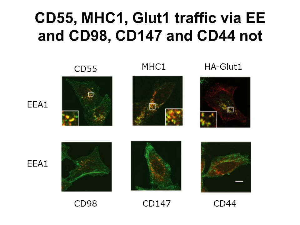 CD55, MHC1, Glut1 traffic via EE and CD98, CD147 and CD44 not CD55 HA-Glut1MHC1 CD98CD147CD44 EEA1