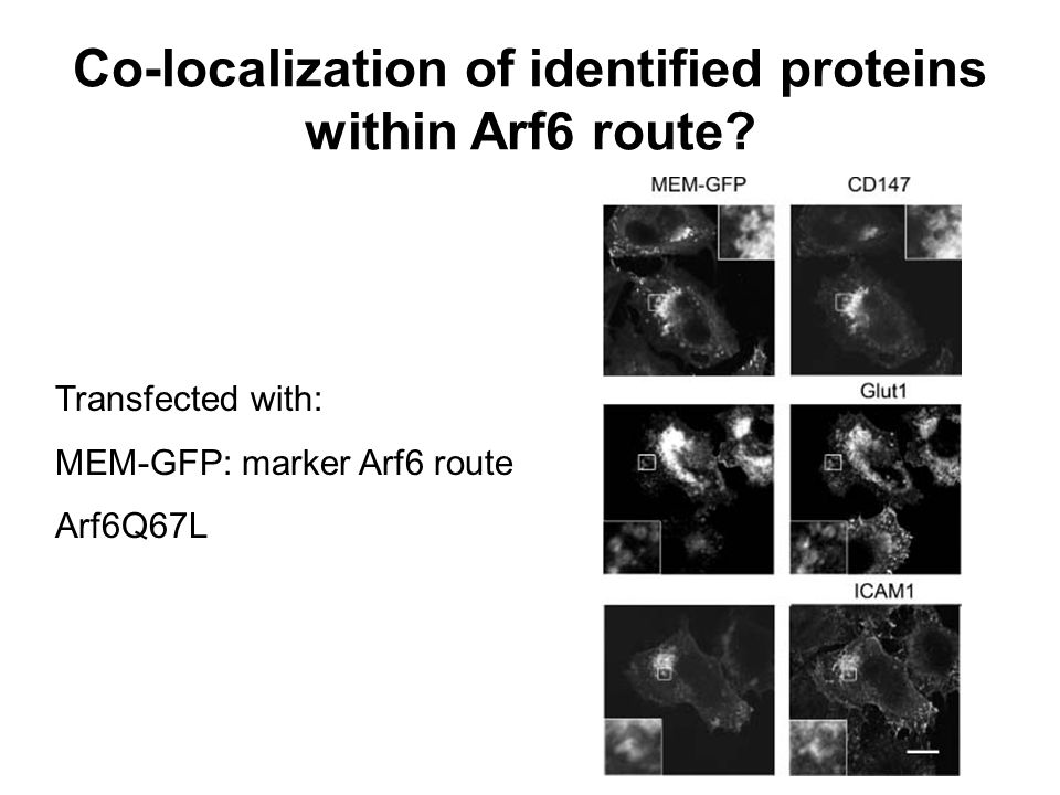 Transfected with: MEM-GFP: marker Arf6 route Arf6Q67L Co-localization of identified proteins within Arf6 route