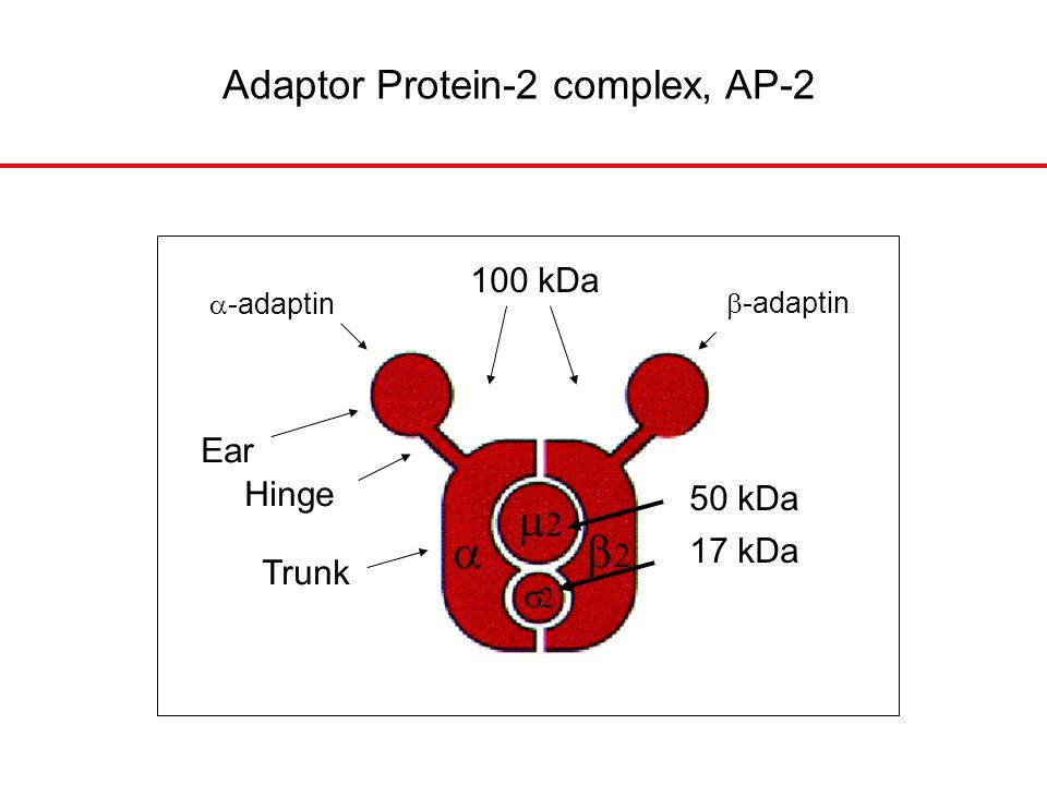 Adaptor Protein-2 complex, AP-2     Ear Hinge Trunk 100 kDa 50 kDa 17 kDa  -adaptin  -adaptin