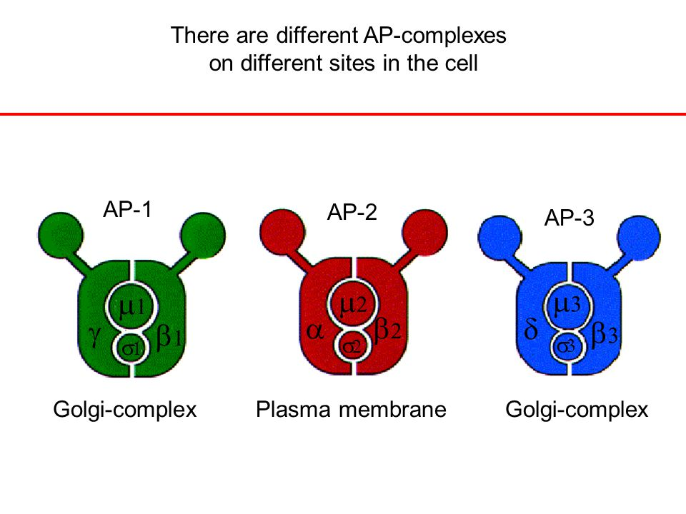 There are different AP-complexes on different sites in the cell Golgi-complex Plasma membrane Golgi-complex            AP-1 AP-2 AP-3