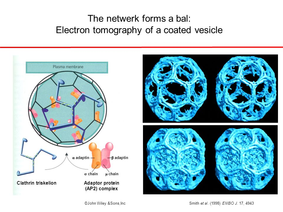The netwerk forms a bal: Electron tomography of a coated vesicle ©John Wiley &Sons,Inc Adaptor protein (AP2) complex  chain  chain  adaptin  adaptin Clathrin triskelion Smith et al.