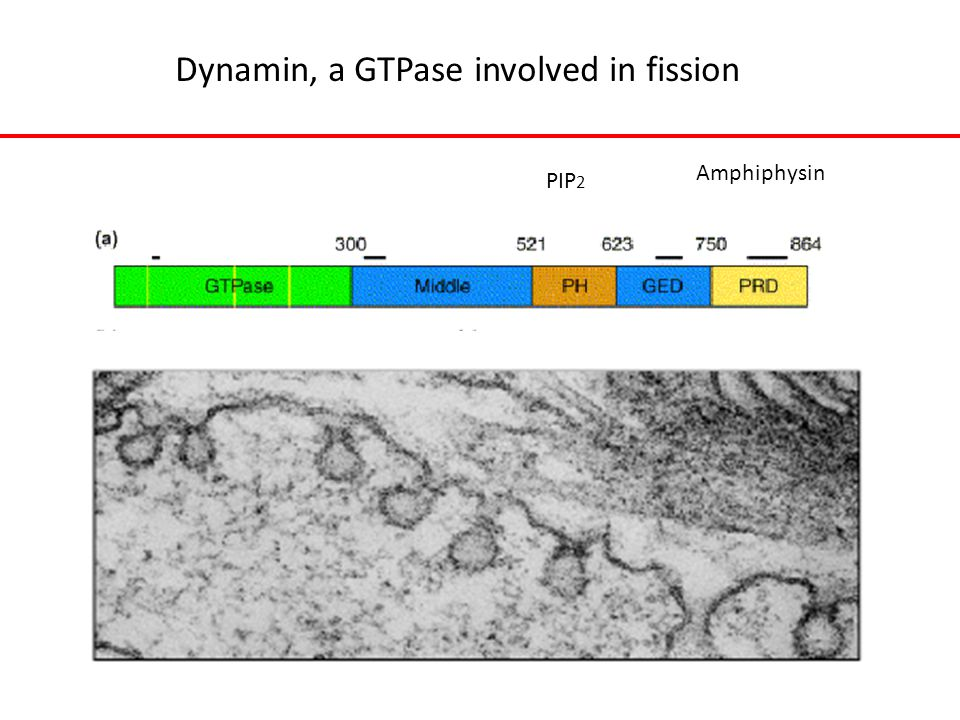 Dynamin, a GTPase involved in fission PIP 2 Amphiphysin