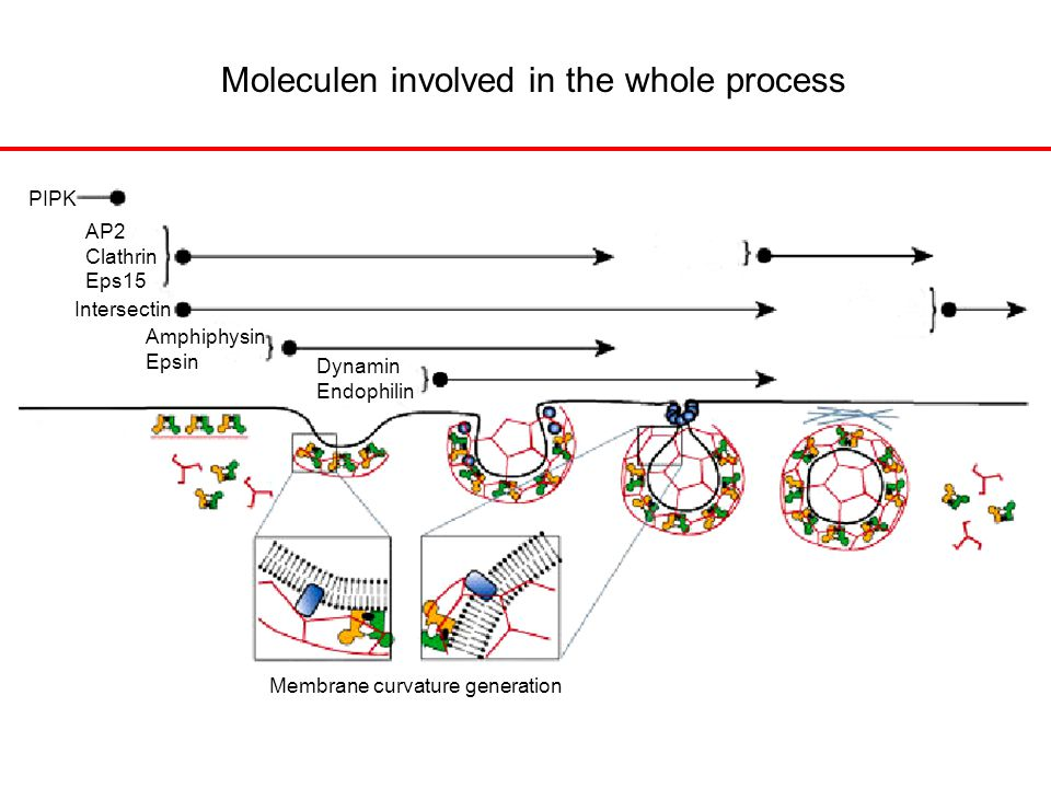 PIPK Membrane curvature generation AP2 Clathrin Eps15 Intersectin Amphiphysin Epsin Dynamin Endophilin Moleculen involved in the whole process