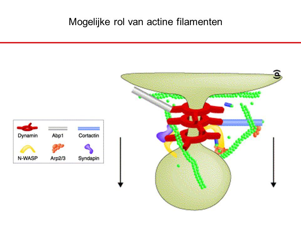 Mogelijke rol van actine filamenten