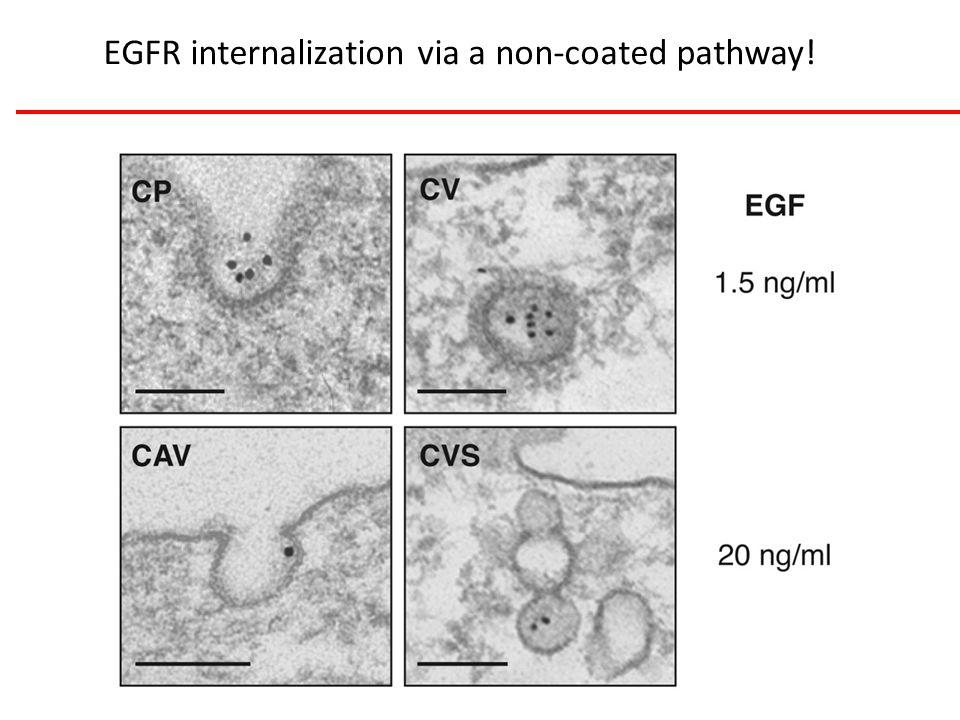 EGFR internalization via a non-coated pathway!