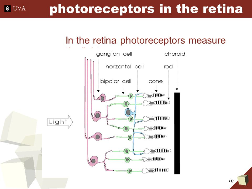 10 photoreceptors in the retina In the retina photoreceptors measure the light