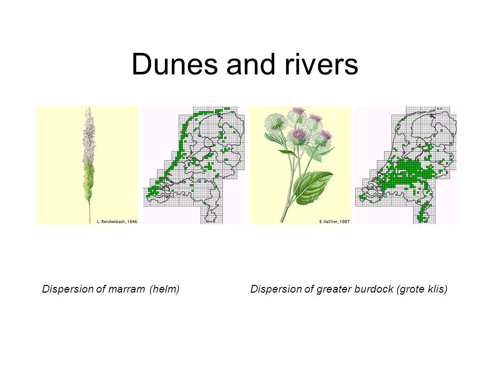 Dunes and rivers Dispersion of marram (helm)Dispersion of greater burdock (grote klis)
