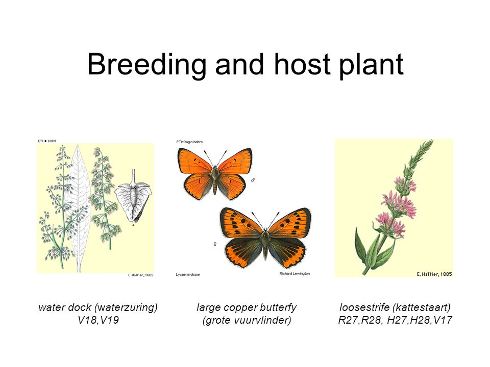 Breeding and host plant water dock (waterzuring) V18,V19 large copper butterfy (grote vuurvlinder) loosestrife (kattestaart) R27,R28, H27,H28,V17