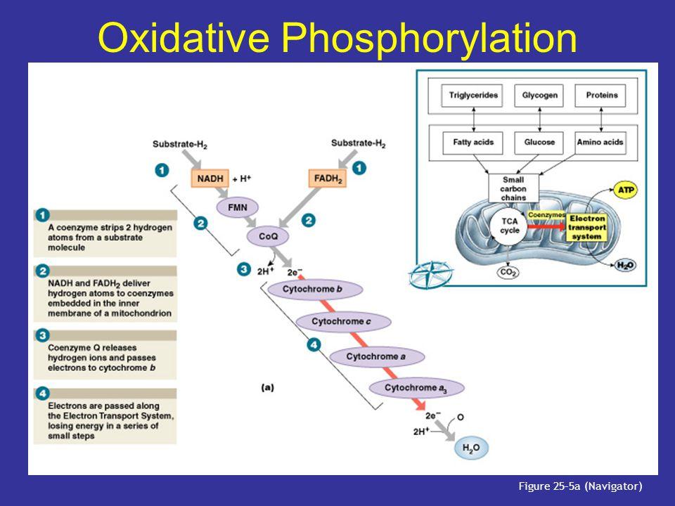 Oxidative Phosphorylation Figure 25–5a (Navigator)