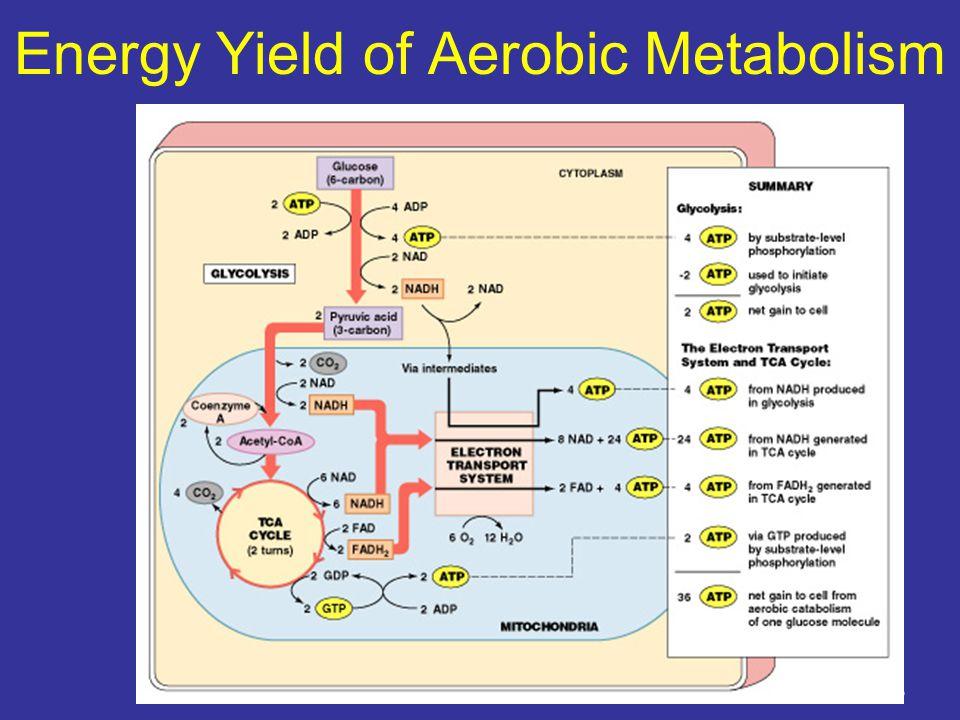 Energy Yield of Aerobic Metabolism Figure 25–6