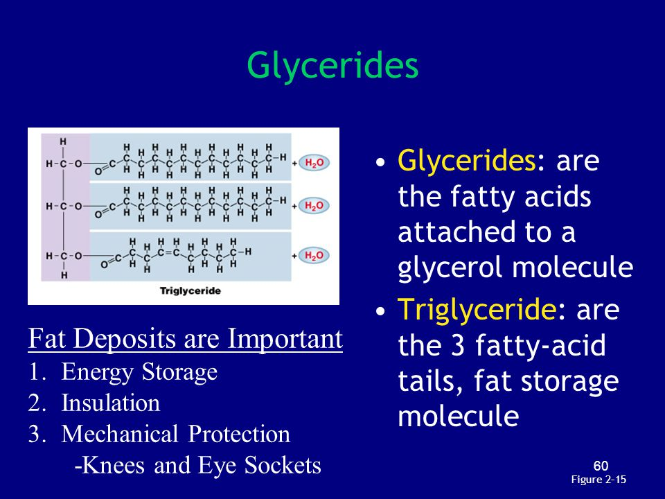 60 Figure 2–15 Glycerides Glycerides: are the fatty acids attached to a glycerol molecule Triglyceride: are the 3 fatty-acid tails, fat storage molecu