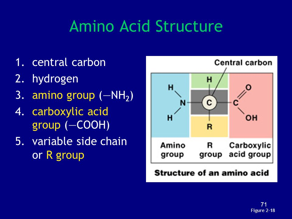 71 Amino Acid Structure 1.central carbon 2.hydrogen 3.amino group (—NH 2 ) 4.carboxylic acid group (—COOH) 5.variable side chain or R group Figure 2-1