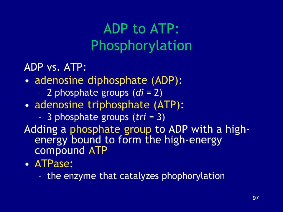 97 ADP to ATP: Phosphorylation ADP vs. ATP: adenosine diphosphate (ADP): –2 phosphate groups (di = 2) adenosine triphosphate (ATP): –3 phosphate group