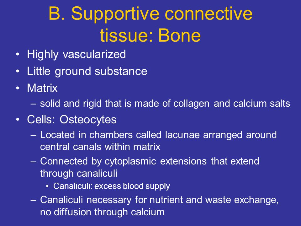 B. Supportive connective tissue: Bone Highly vascularized Little ground substance Matrix –solid and rigid that is made of collagen and calcium salts C