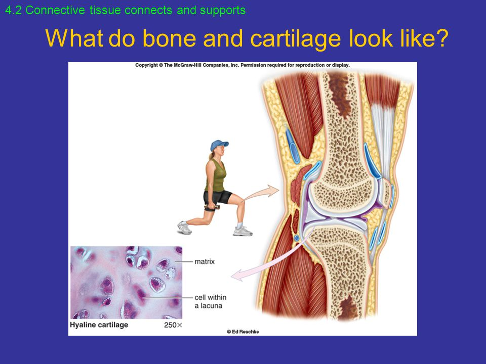 What do bone and cartilage look like? 4.2 Connective tissue connects and supports