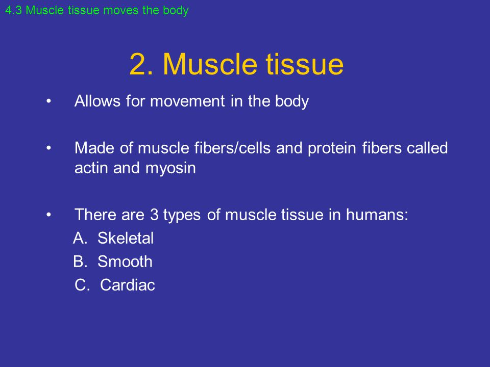 2. Muscle tissue Allows for movement in the body Made of muscle fibers/cells and protein fibers called actin and myosin There are 3 types of muscle ti