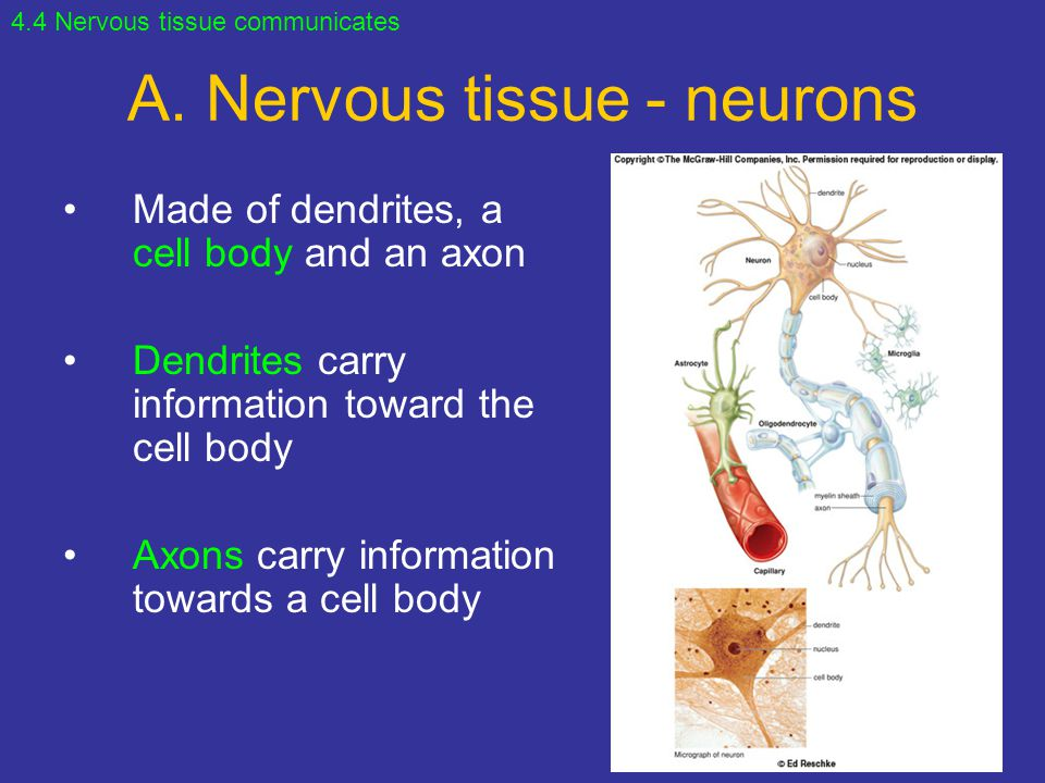 A. Nervous tissue - neurons Made of dendrites, a cell body and an axon Dendrites carry information toward the cell body Axons carry information toward