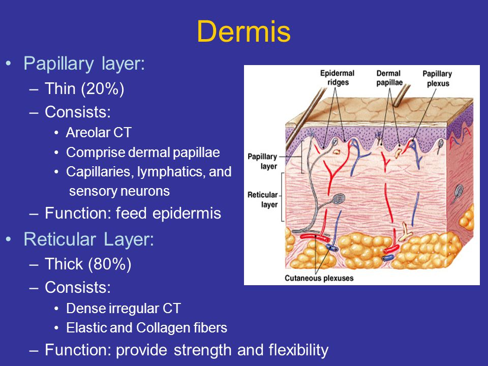 Dermis Papillary layer: –Thin (20%) –Consists: Areolar CT Comprise dermal papillae Capillaries, lymphatics, and sensory neurons –Function: feed epider