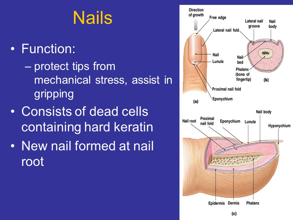 Nails Function: –protect tips from mechanical stress, assist in gripping Consists of dead cells containing hard keratin New nail formed at nail root
