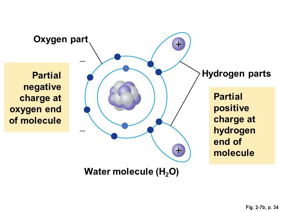 Fig. 2-7b, p. 34 Oxygen part Partial negative charge at oxygen end of molecule Hydrogen parts Partial positive charge at hydrogen end of molecule Wate