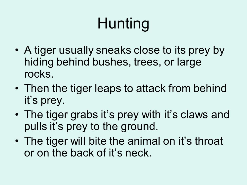 Hunting A tiger usually sneaks close to its prey by hiding behind bushes, trees, or large rocks. Then the tiger leaps to attack from behind it's prey.