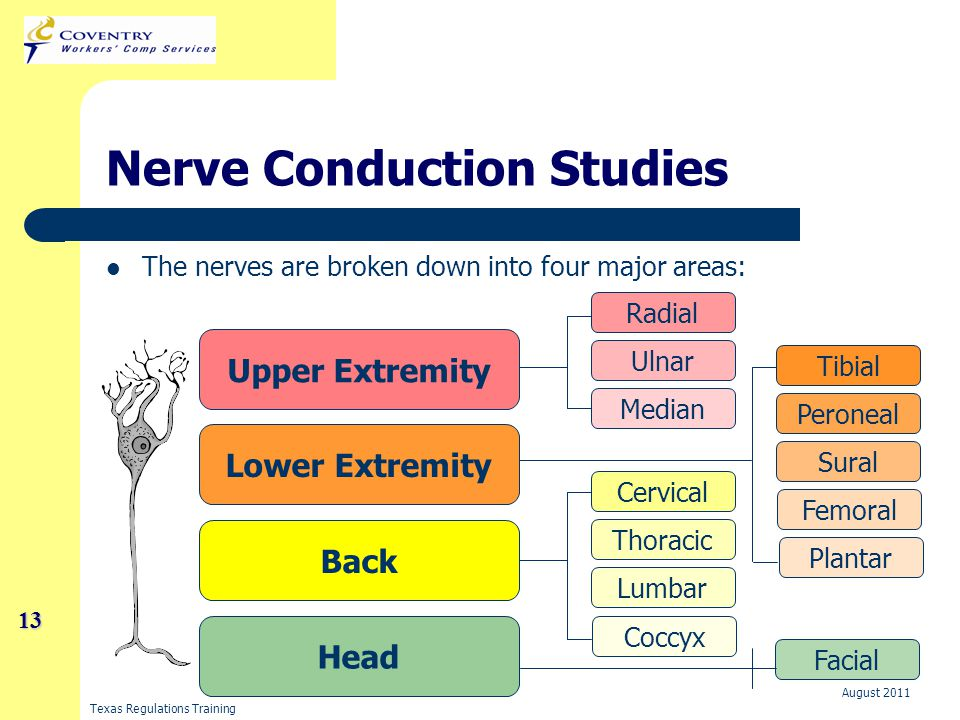 Texas Regulations Training August 2011 13 13 Nerve Conduction Studies The nerves are broken down into four major areas: Head Back Lower Extremity Upper Extremity Radial Ulnar Median Tibial Peroneal Sural Femoral Plantar Cervical Thoracic Lumbar Coccyx Facial