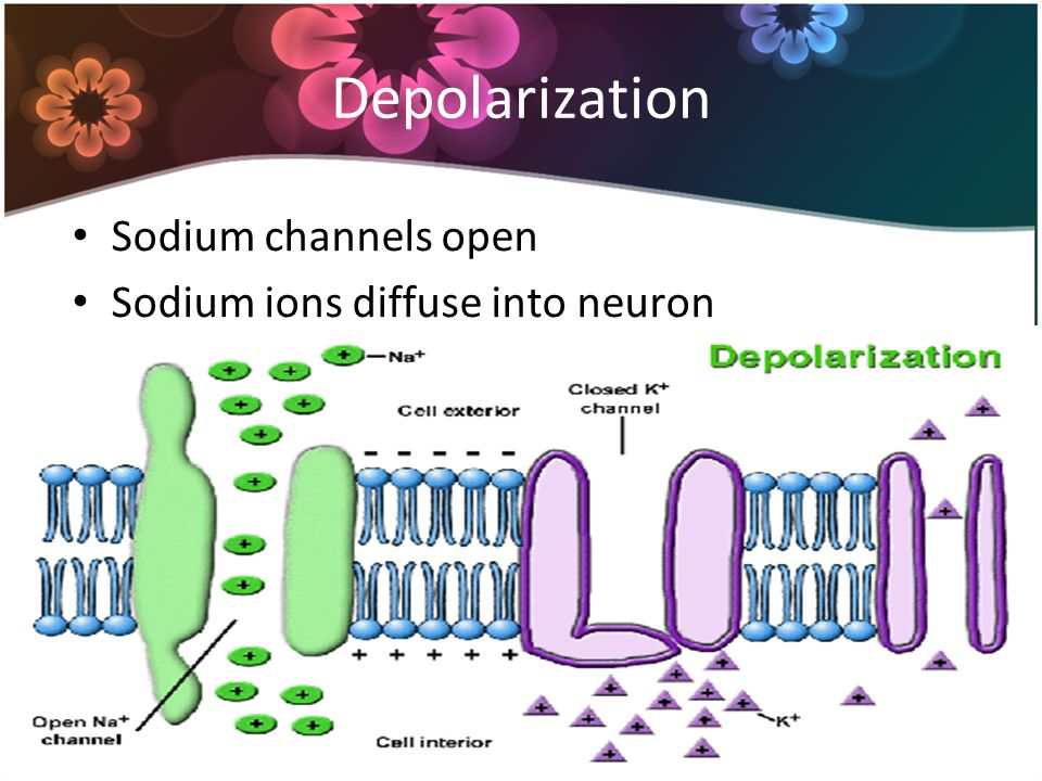 Repolarization Potassium channels open after short delay Potassium ions diffuse out of neuron