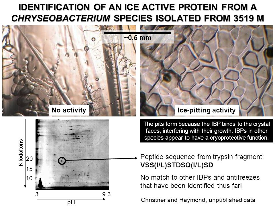 IDENTIFICATION OF AN ICE ACTIVE PROTEIN FROM A CHRYSEOBACTERIUM SPECIES ISOLATED FROM 3519 M No activityIce-pitting activity ~0.5 mm Kilodaltons 39.3 pH The pits form because the IBP binds to the crystal faces, interfering with their growth.