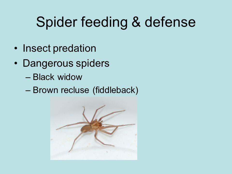 Spider feeding & defense Insect predation Dangerous spiders –Black widow –Brown recluse (fiddleback)