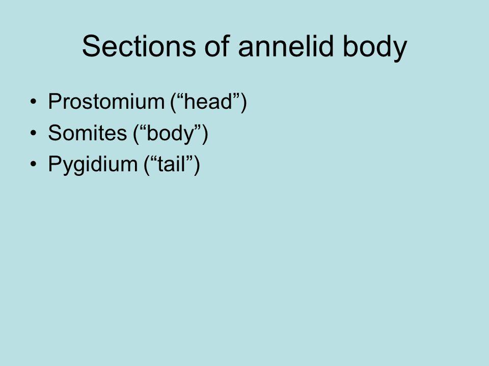 Annelid coelom Septa divide coelom and separate segments.
