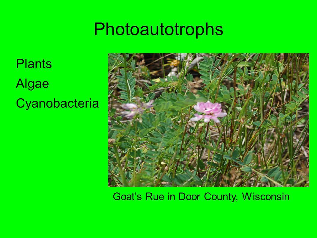 Photoautotrophs Plants Algae Cyanobacteria Goat's Rue in Door County, Wisconsin