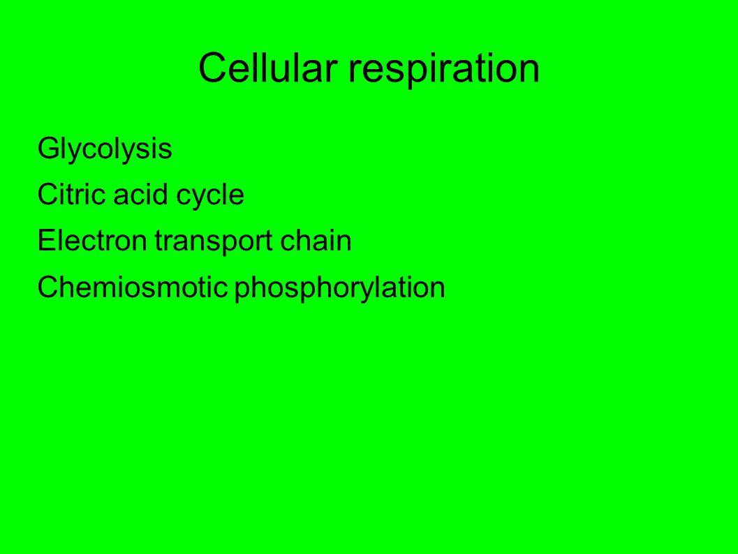 Cellular respiration Glycolysis Citric acid cycle Electron transport chain Chemiosmotic phosphorylation