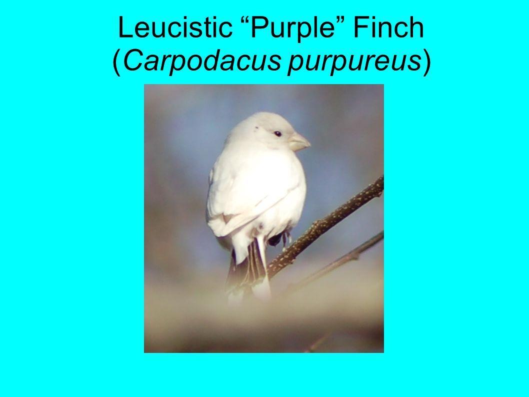 Leucistic Purple Finch (Carpodacus purpureus)