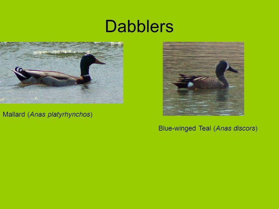 Dabblers Mallard (Anas platyrhynchos) Blue-winged Teal (Anas discors)