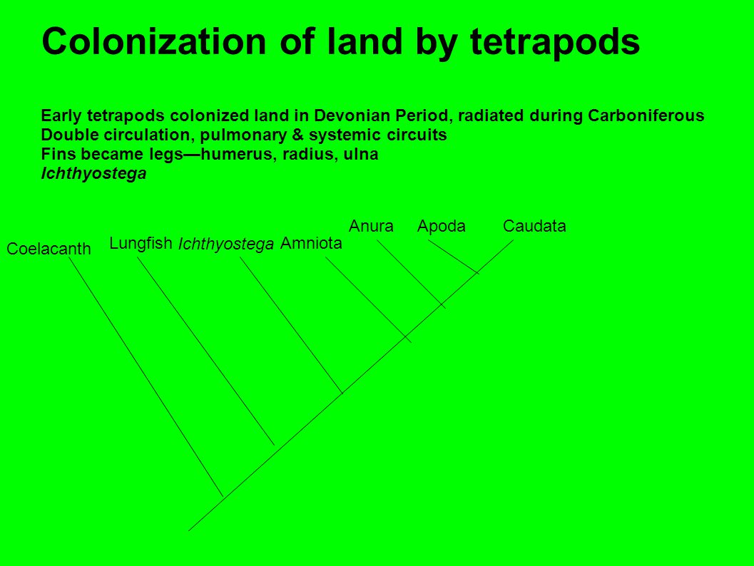 Colonization of land by tetrapods Early tetrapods colonized land in Devonian Period, radiated during Carboniferous Double circulation, pulmonary & systemic circuits Fins became legs—humerus, radius, ulna Ichthyostega Coelacanth Lungfish Ichthyostega Amniota AnuraApodaCaudata