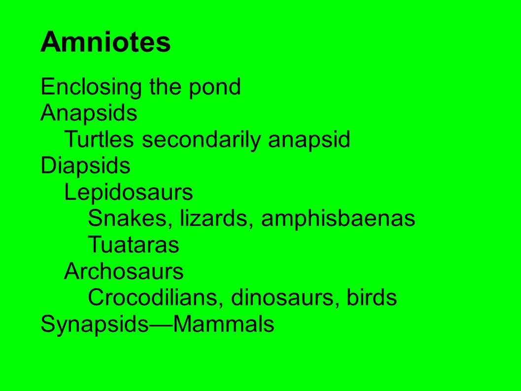 Amniotes Enclosing the pond Anapsids Turtles secondarily anapsid Diapsids Lepidosaurs Snakes, lizards, amphisbaenas Tuataras Archosaurs Crocodilians, dinosaurs, birds Synapsids—Mammals