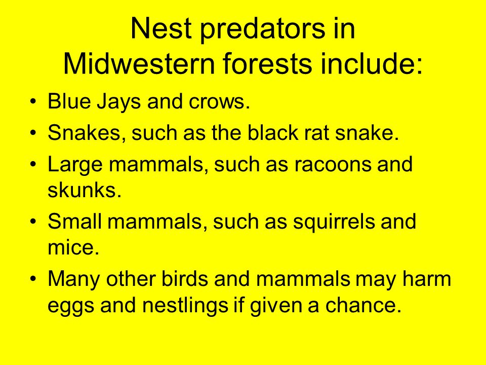 Nest predators in Midwestern forests include: Blue Jays and crows. Snakes, such as the black rat snake. Large mammals, such as racoons and skunks. Sma