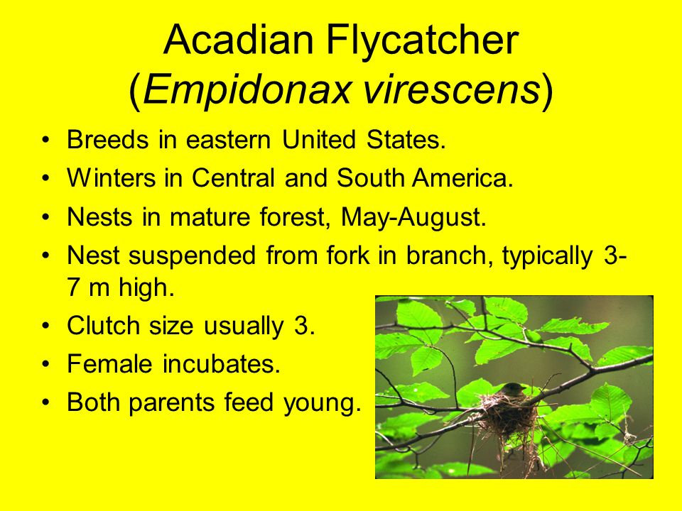 Acadian Flycatcher (Empidonax virescens) Breeds in eastern United States. Winters in Central and South America. Nests in mature forest, May-August. Ne