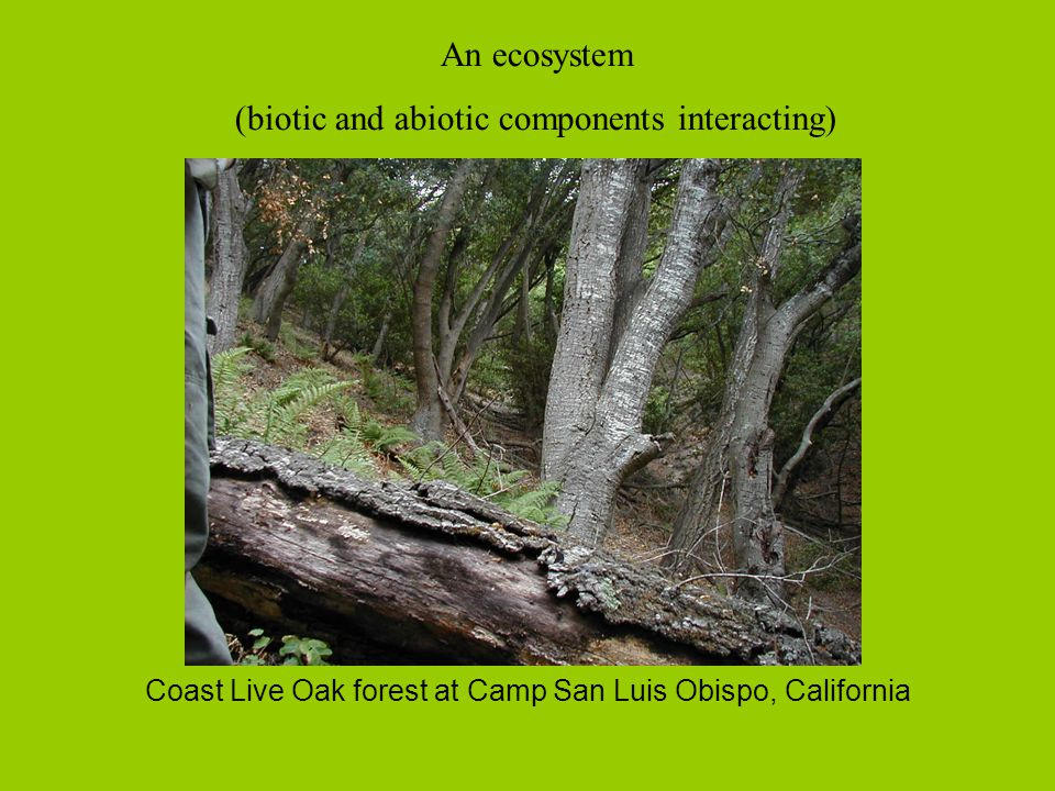 Coast Live Oak forest at Camp San Luis Obispo, California An ecosystem (biotic and abiotic components interacting)