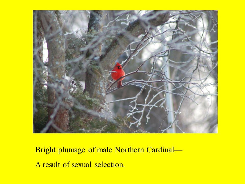Bright plumage of male Northern Cardinal— A result of sexual selection.